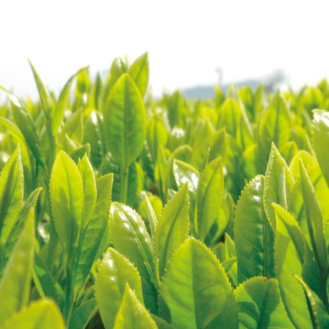 鹿児島知覧有機栽培の緑茶