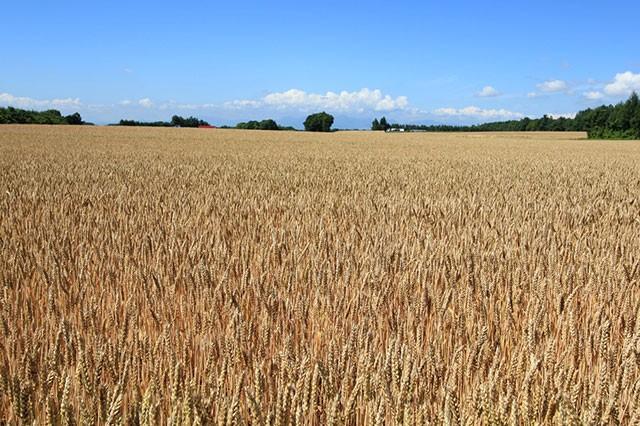 産直産地JAおとふけ(北海道)の小麦畑